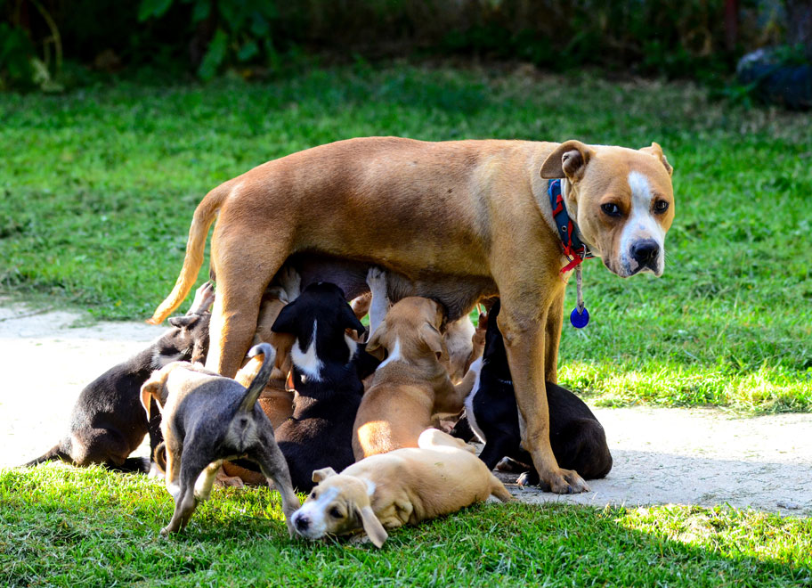 dog nursing puppies